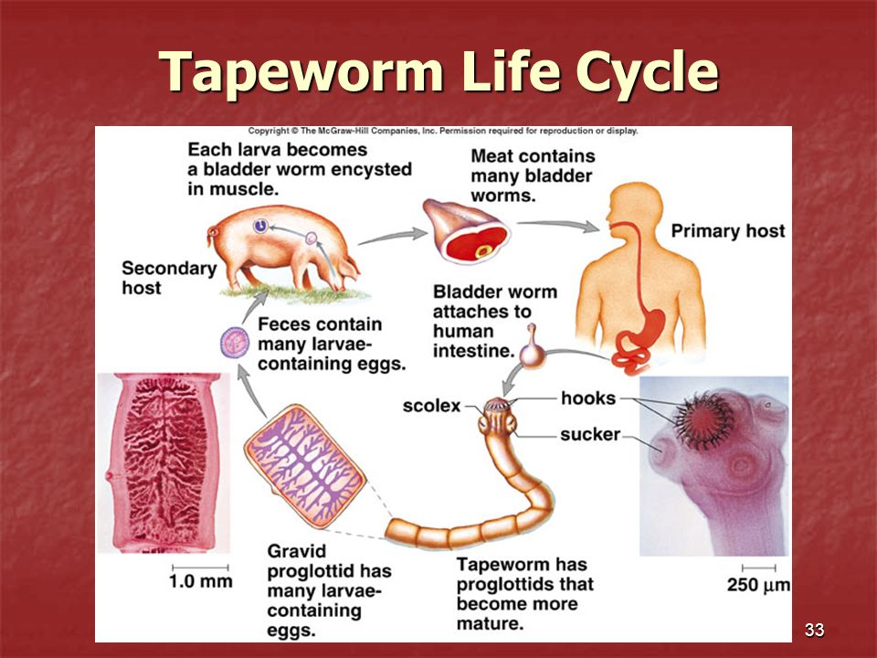 Tapeworm Life Cycle 33