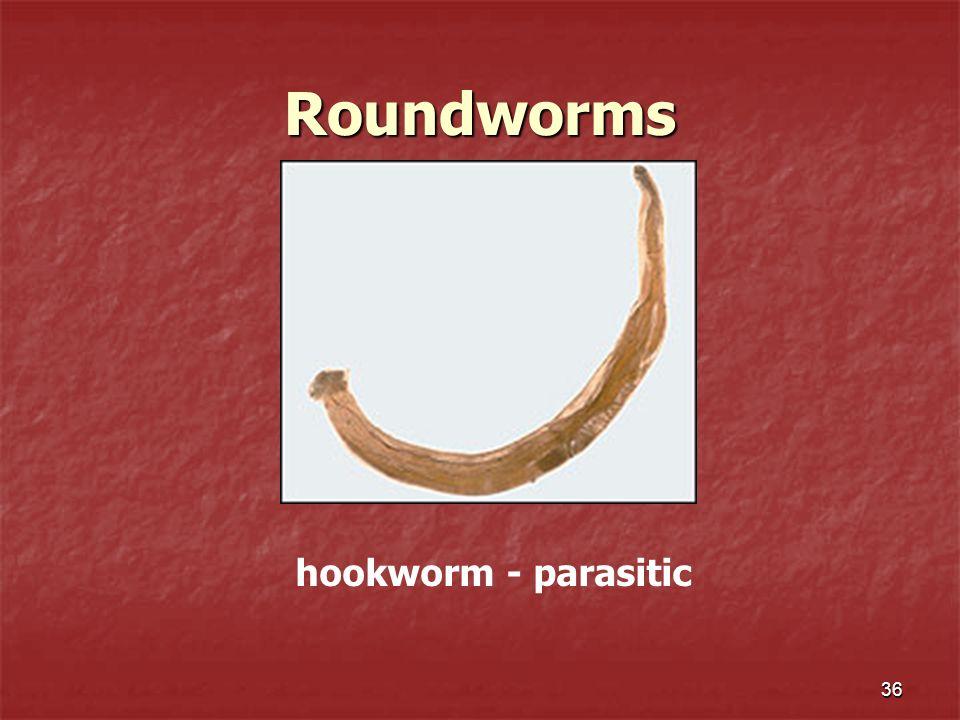 Roundworms 36 hookworm - parasitic