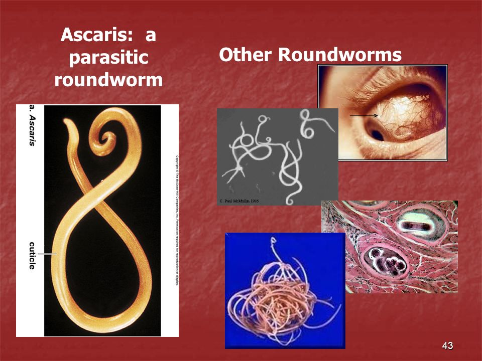 43 Ascaris: a parasitic roundworm Other Roundworms