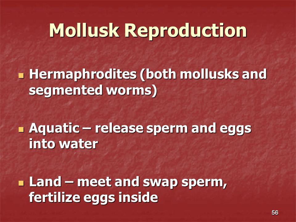 Mollusk Reproduction Hermaphrodites (both mollusks and segmented worms) Hermaphrodites (both mollusks and segmented worms) Aquatic – release sperm and