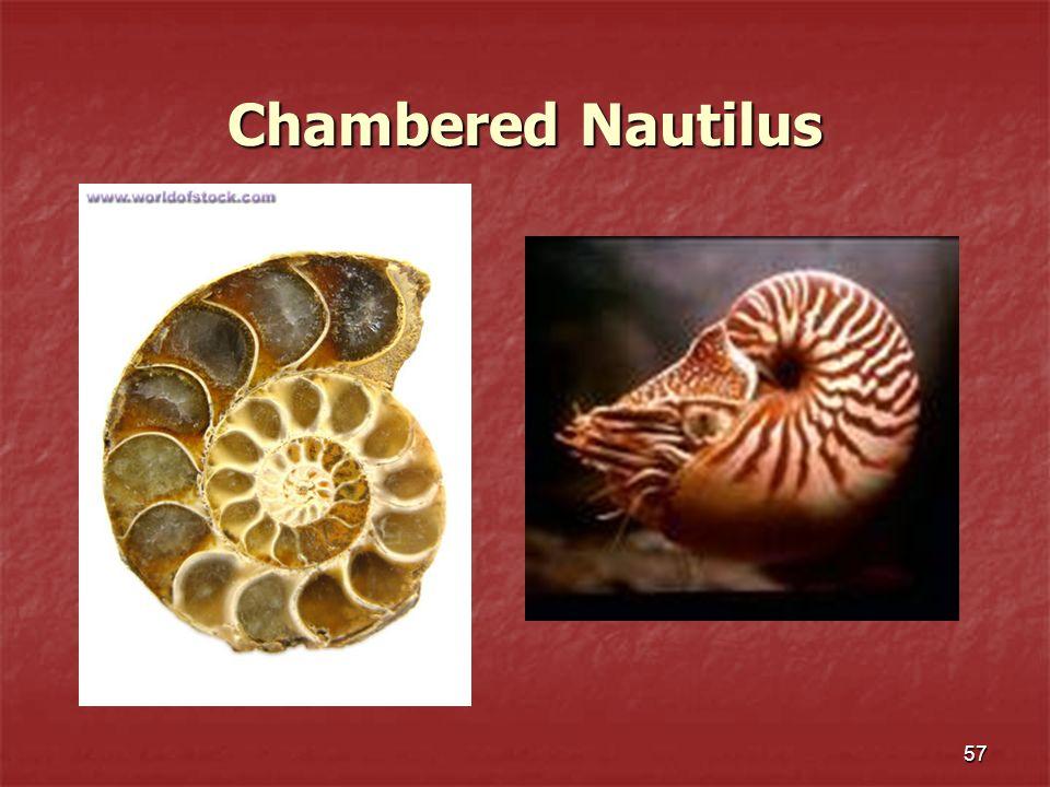 57 Chambered Nautilus