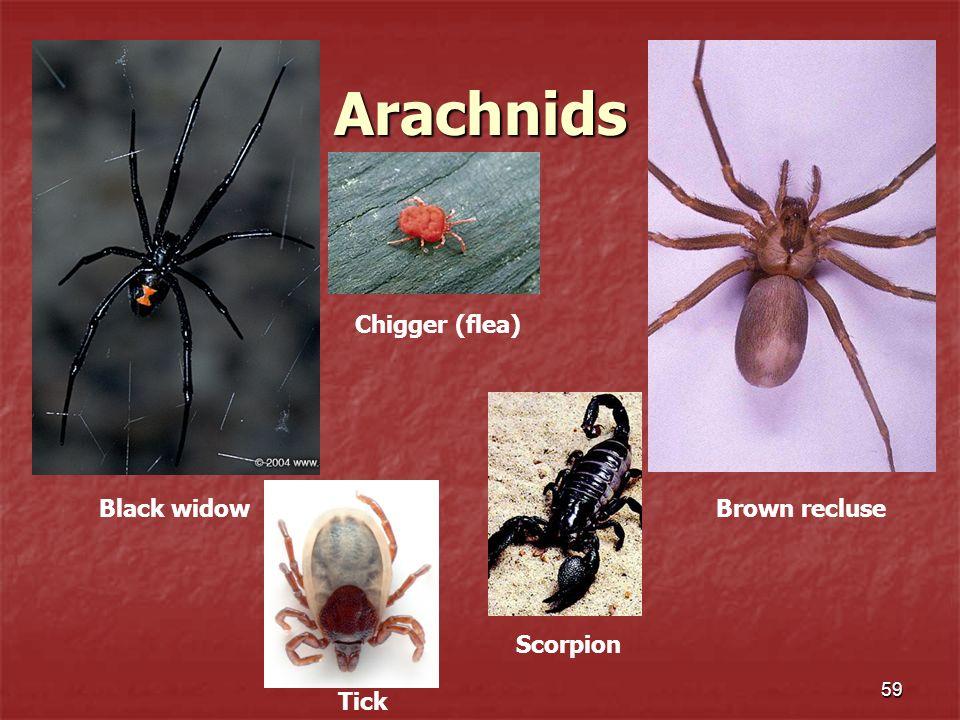 Arachnids 59 Black widowBrown recluse Chigger (flea) Tick Scorpion
