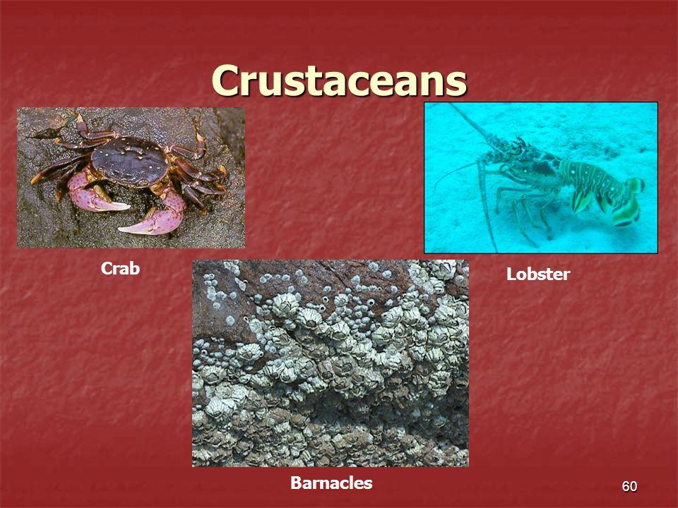Crustaceans 60 Crab Barnacles Lobster