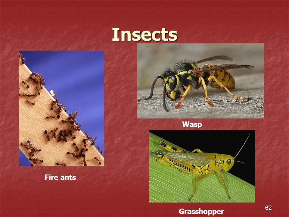 Insects 62 Fire ants Wasp Grasshopper