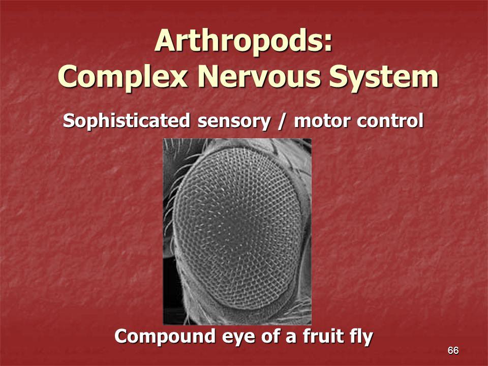 Arthropods: Complex Nervous System Sophisticated sensory / motor control Sophisticated sensory / motor control 66 Compound eye of a fruit fly Compound