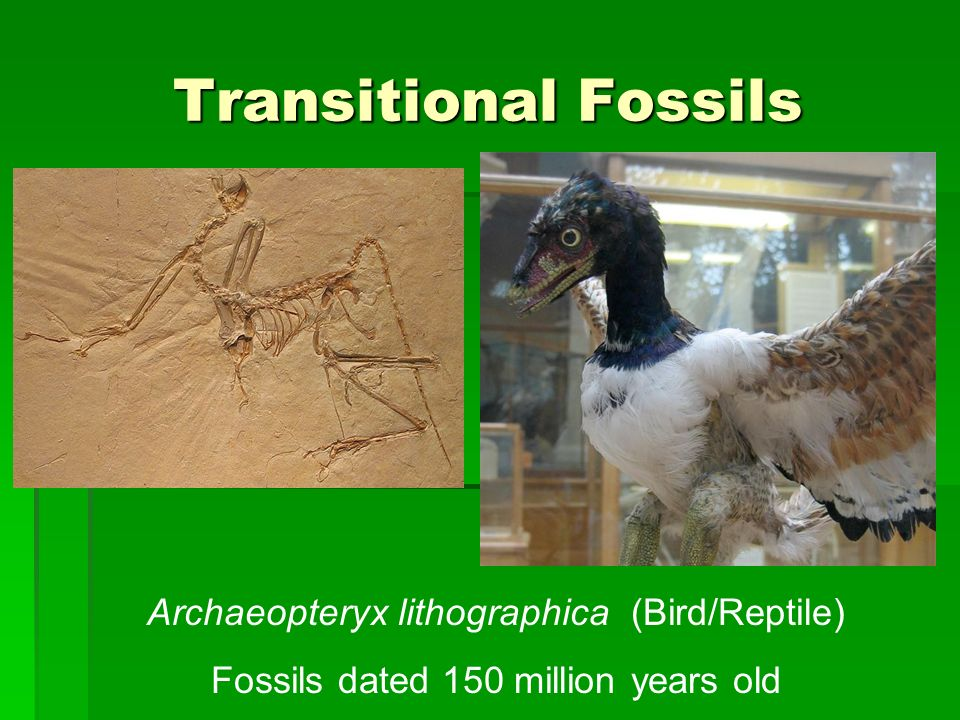 Transitional Fossils Archaeopteryx lithographica (Bird/Reptile) Fossils dated 150 million years old