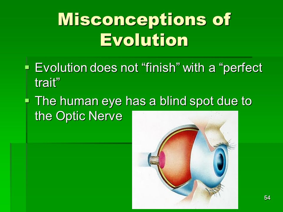 Misconceptions of Evolution Evolution does not finish with a perfect trait Evolution does not finish with a perfect trait The human eye has a blind sp