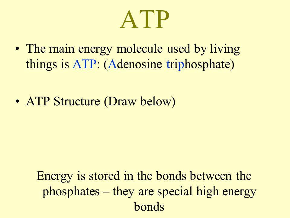 ATP The main energy molecule used by living things is ATP: (Adenosine triphosphate) ATP Structure (Draw below) Energy is stored in the bonds between t