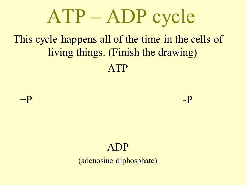 ATP – ADP cycle This cycle happens all of the time in the cells of living things. (Finish the drawing) ATP +P-P ADP (adenosine diphosphate)