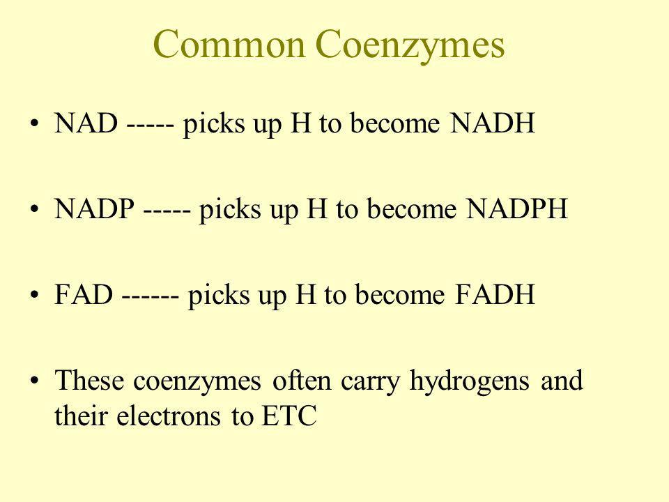Common Coenzymes NAD ----- picks up H to become NADH NADP ----- picks up H to become NADPH FAD ------ picks up H to become FADH These coenzymes often