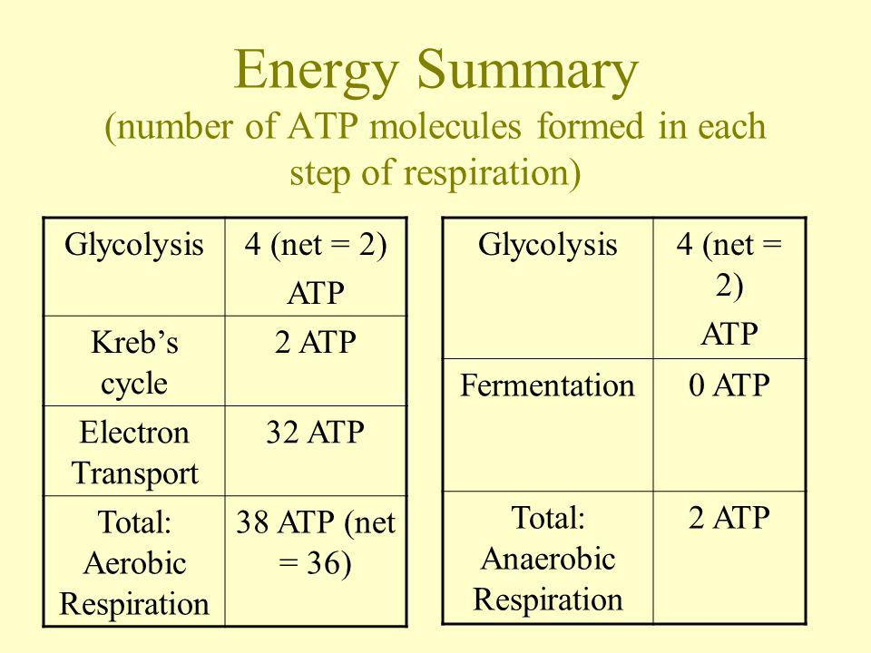 Energy Summary (number of ATP molecules formed in each step of respiration) Glycolysis4 (net = 2) ATP Krebs cycle 2 ATP Electron Transport 32 ATP Tota