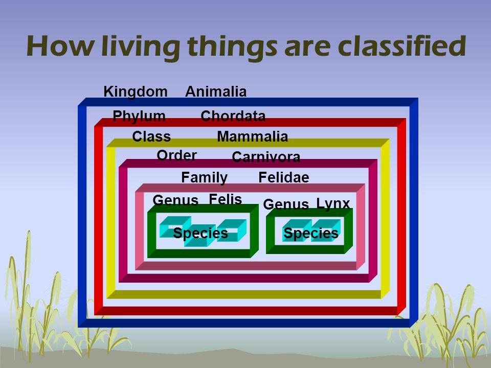 How living things are classified Species Genus Species FamilyFelidae Order Carnivora Lynx Felis ClassMammalia PhylumChordata KingdomAnimalia