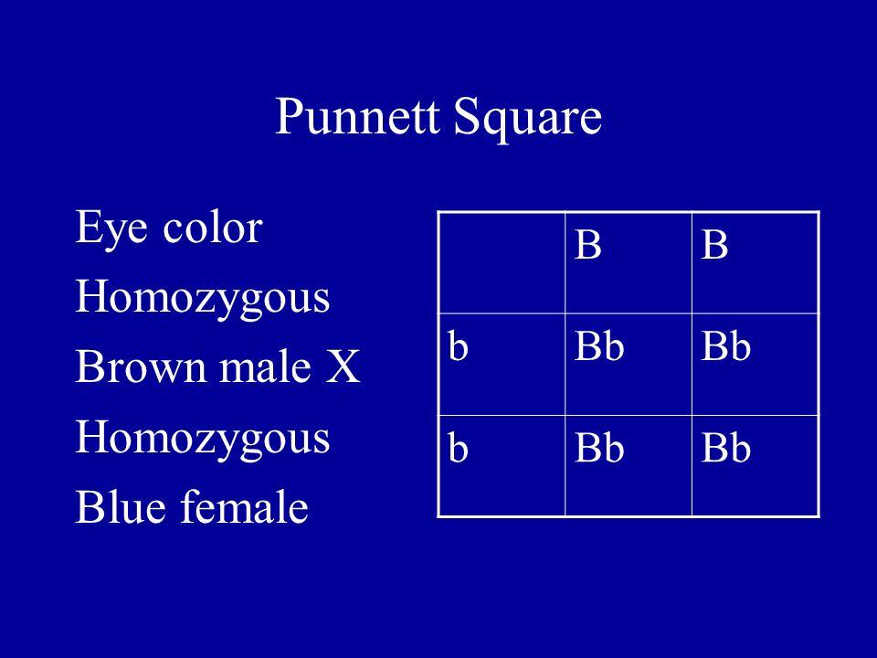 Punnett Square Eye color Homozygous Brown male X Homozygous Blue female BB bBb b