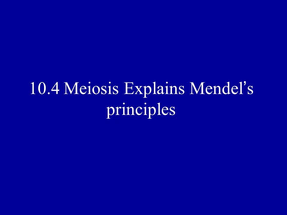 10.4 Meiosis Explains Mendel s principles