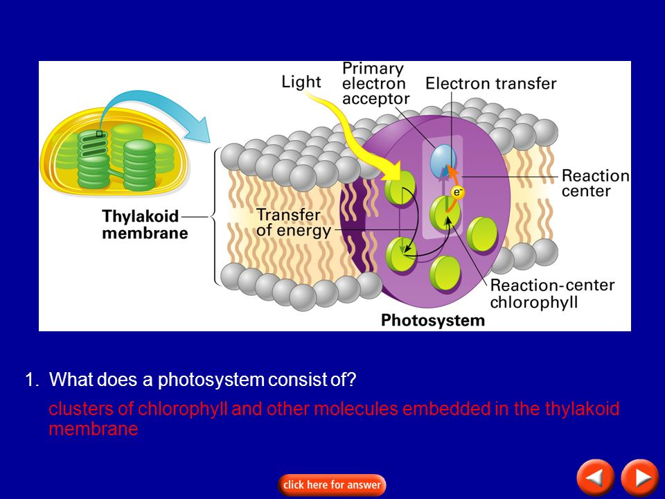 Transparency 8C-6 1.What does a photosystem consist of? clusters of chlorophyll and other molecules embedded in the thylakoid membrane