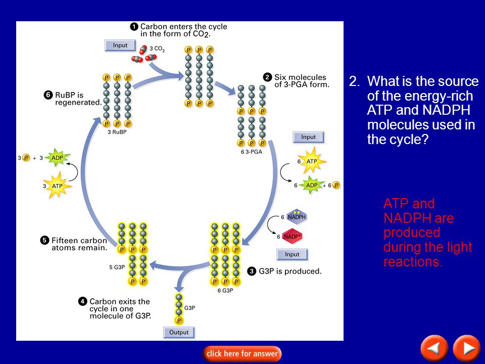 Transparency 8D-9 2.What is the source of the energy-rich ATP and NADPH molecules used in the cycle? ATP and NADPH are produced during the light react