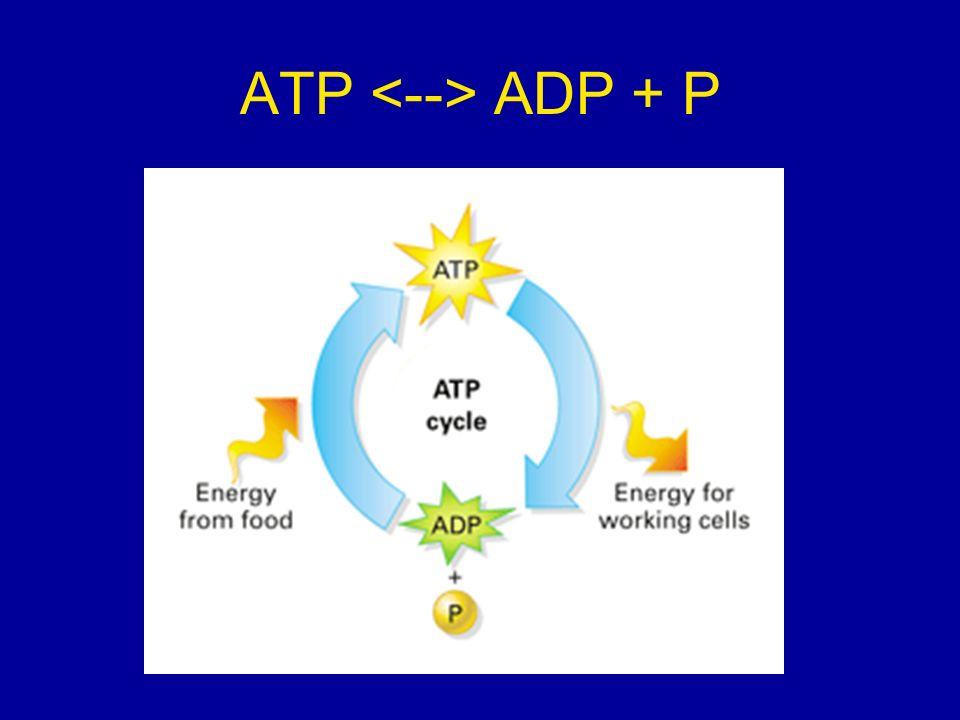 ATP ADP + P