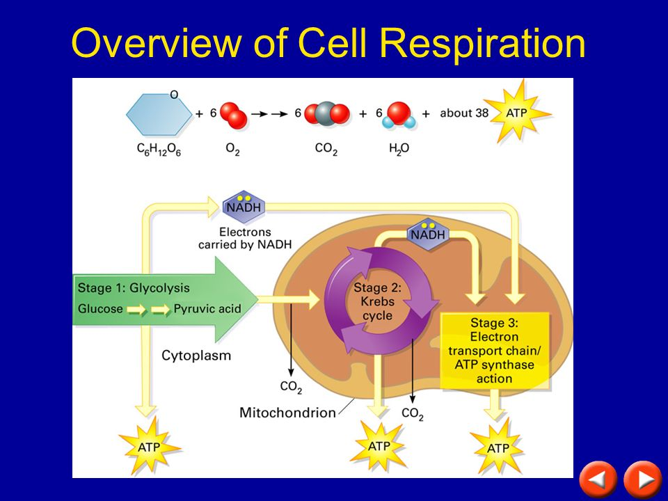 Overview of Cell Respiration