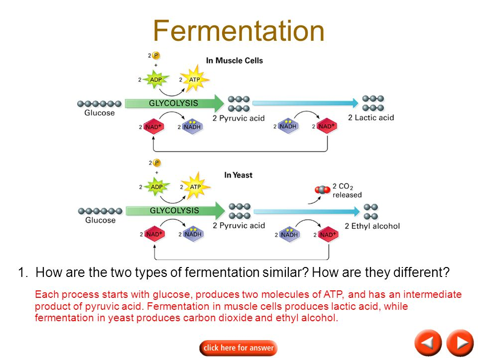 1.How are the two types of fermentation similar.How are they different.