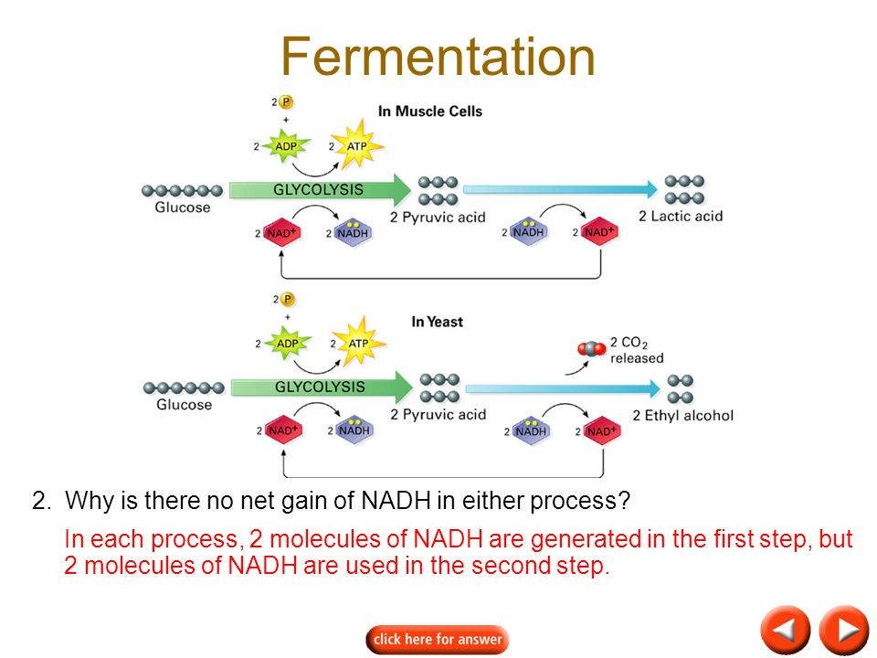 Fermentation 2.Why is there no net gain of NADH in either process.