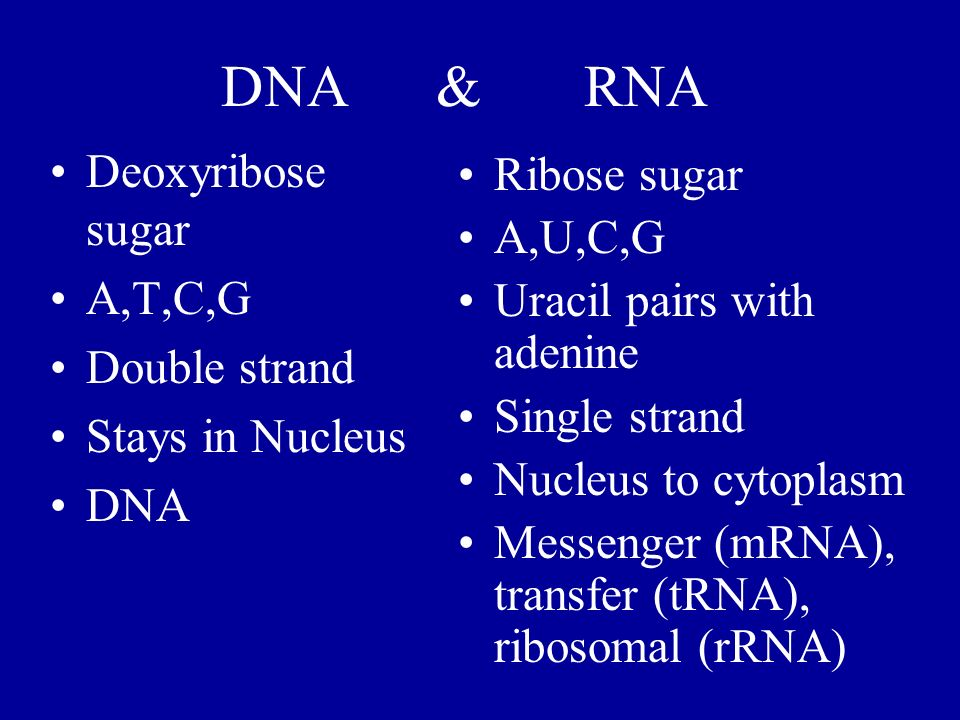 DNA & RNA Deoxyribose sugar A,T,C,G Double strand Stays in Nucleus DNA Ribose sugar A,U,C,G Uracil pairs with adenine Single strand Nucleus to cytopla