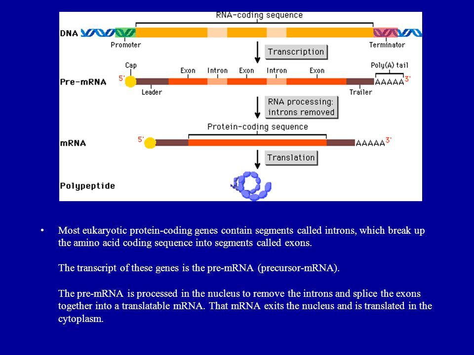 Most eukaryotic protein-coding genes contain segments called introns, which break up the amino acid coding sequence into segments called exons. The tr
