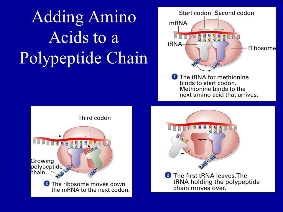 Adding Amino Acids to a Polypeptide Chain