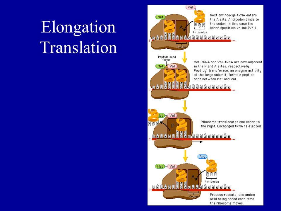 Elongation Translation