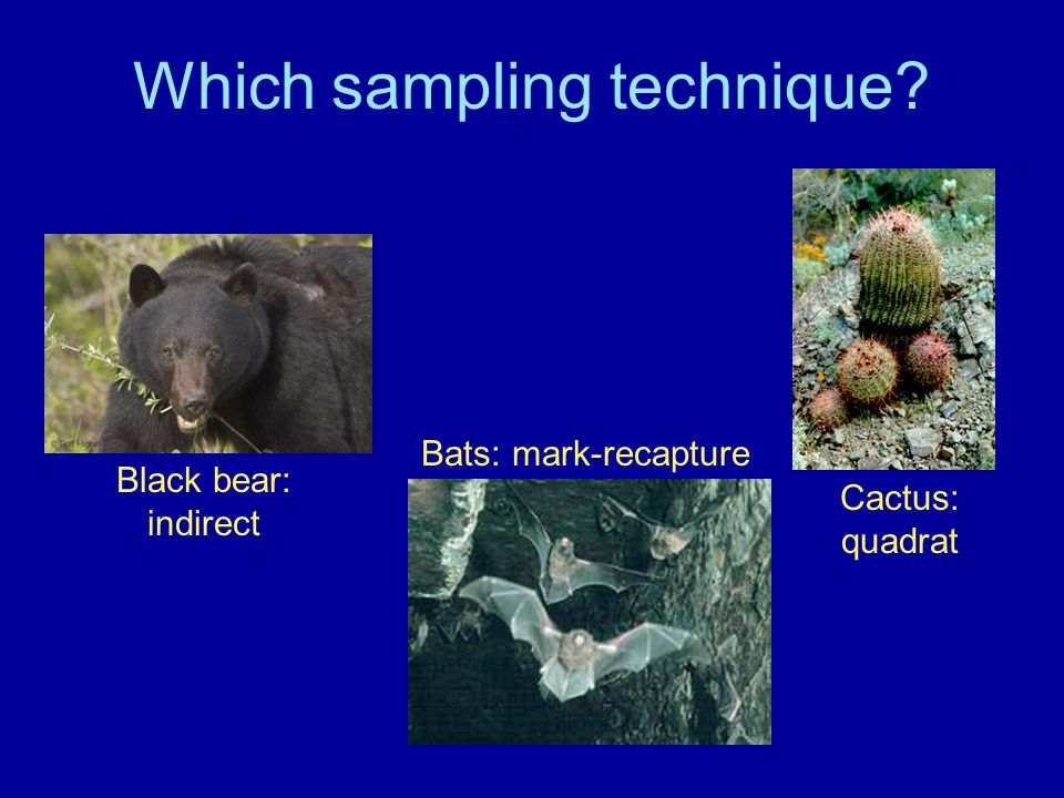 Which sampling technique? Black bear: indirect Bats: mark-recapture Cactus: quadrat