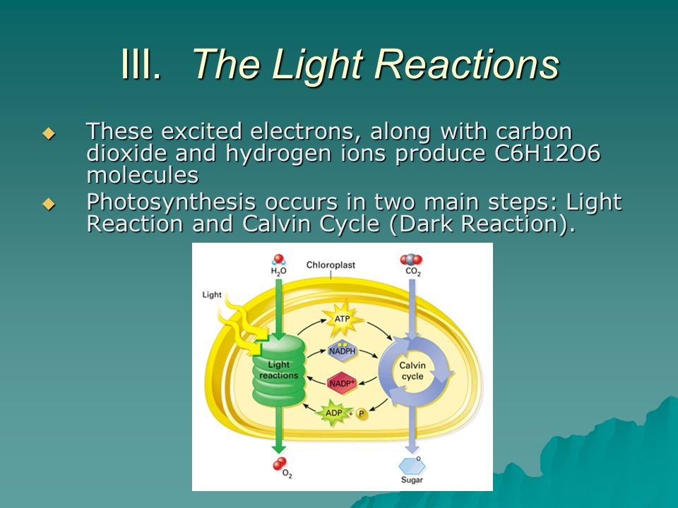 III. The Light Reactions These excited electrons, along with carbon dioxide and hydrogen ions produce C6H12O6 molecules These excited electrons, along