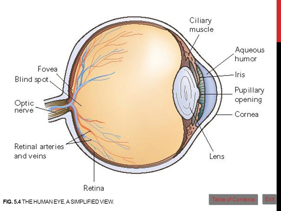 FIG. 5.4 THE HUMAN EYE, A SIMPLIFIED VIEW. Table of Contents Exit
