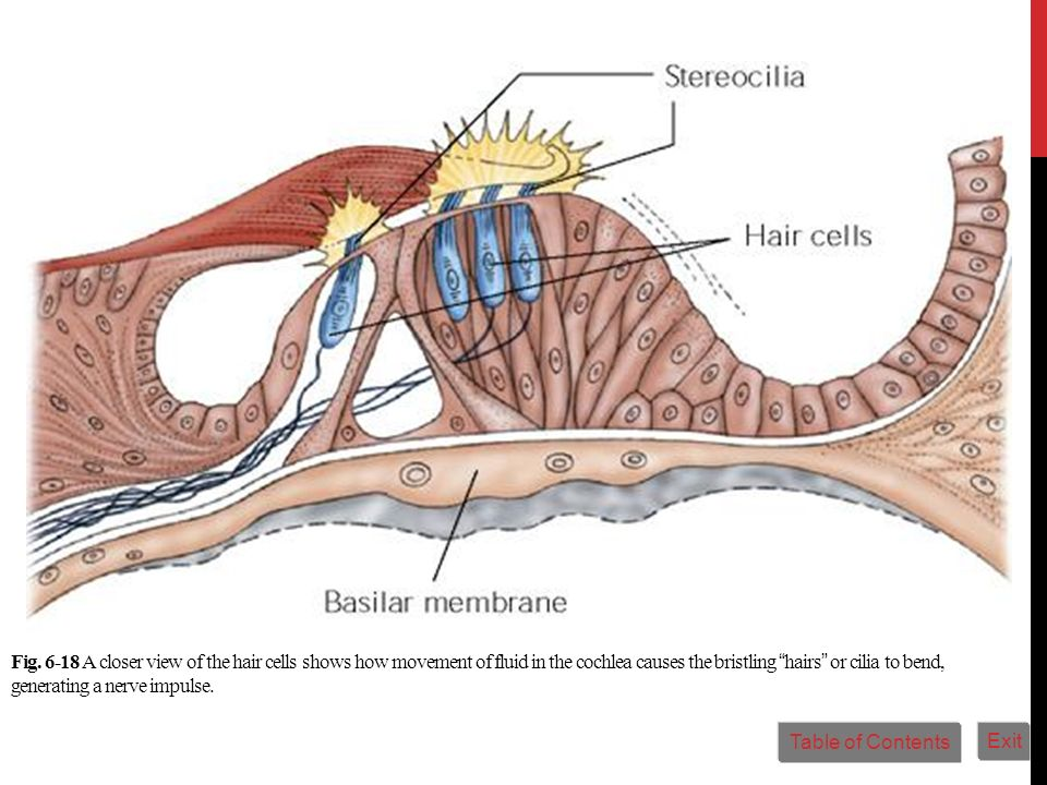Fig. 6-18 A closer view of the hair cells shows how movement of fluid in the cochlea causes the bristling hairs or cilia to bend, generating a nerve i