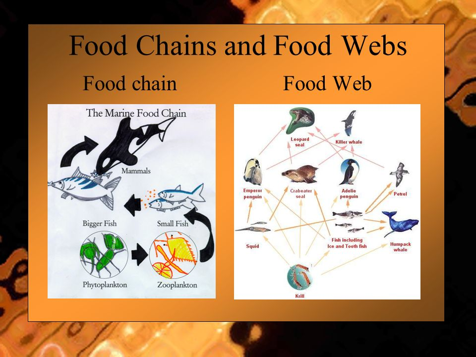 Food Chains and Food Webs Food chain Food Web