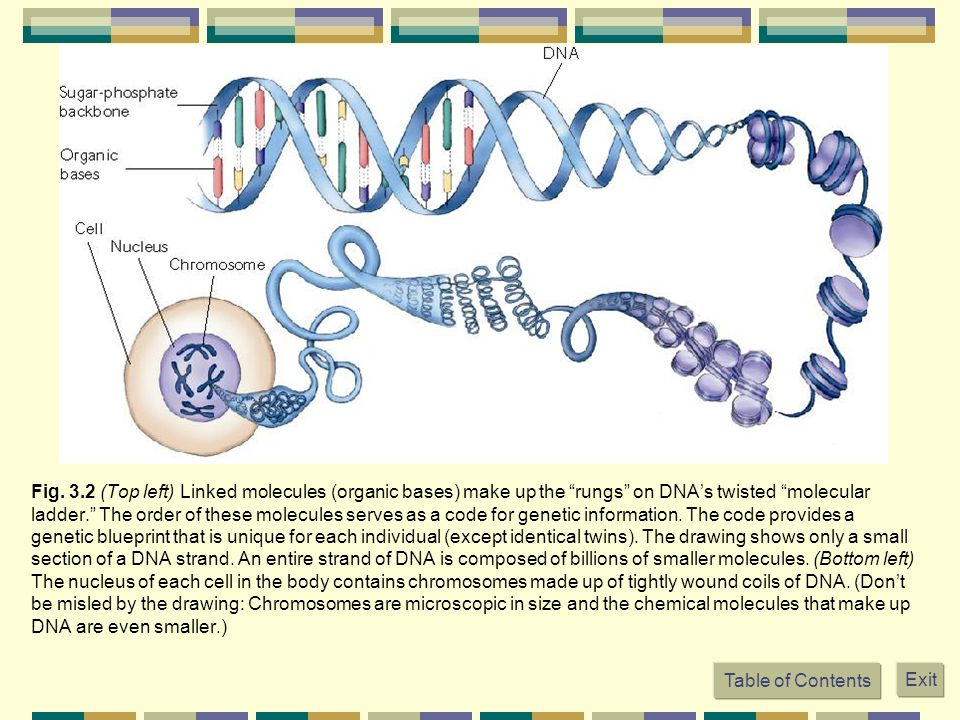 Fig. 3.2 (Top left) Linked molecules (organic bases) make up the rungs on DNAs twisted molecular ladder. The order of these molecules serves as a code