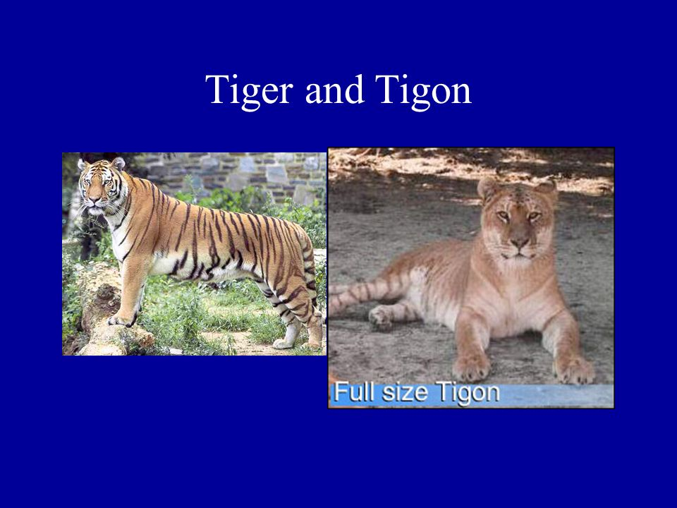 Tiger and Tigon