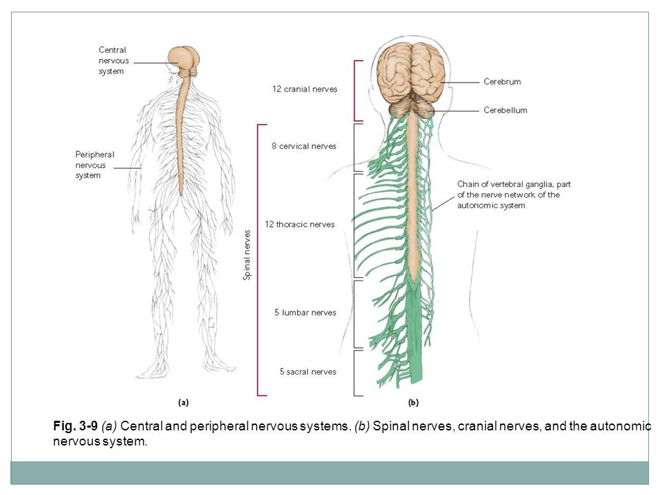 Fig. 3-9 (a) Central and peripheral nervous systems. (b) Spinal nerves, cranial nerves, and the autonomic nervous system.
