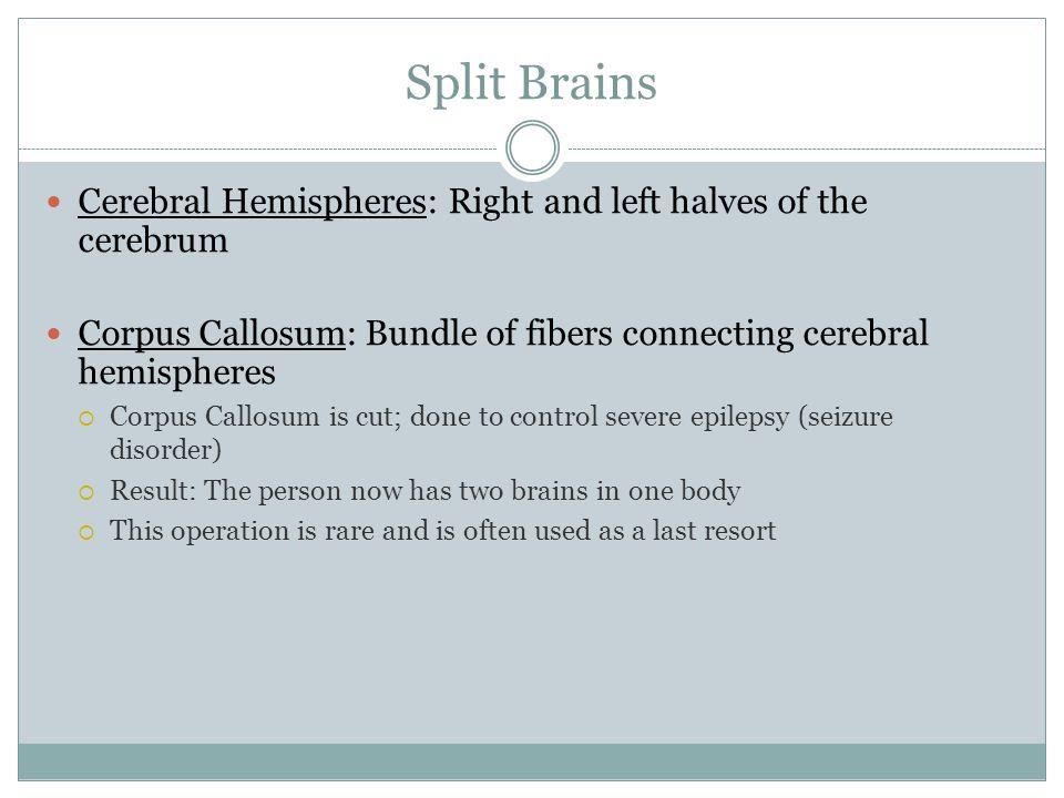 Split Brains Cerebral Hemispheres: Right and left halves of the cerebrum Corpus Callosum: Bundle of fibers connecting cerebral hemispheres Corpus Call