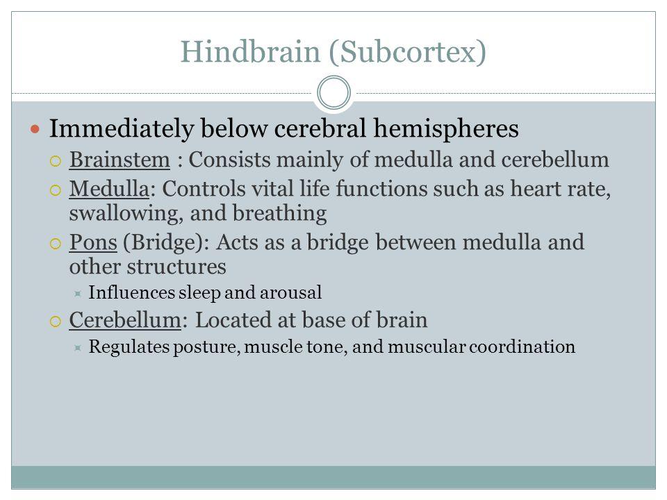 Hindbrain (Subcortex) Immediately below cerebral hemispheres Brainstem : Consists mainly of medulla and cerebellum Medulla: Controls vital life functi