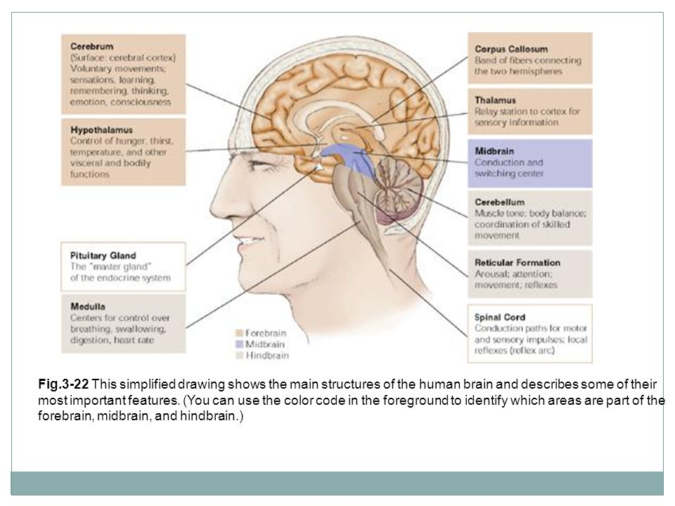 Fig.3-22 This simplified drawing shows the main structures of the human brain and describes some of their most important features. (You can use the co