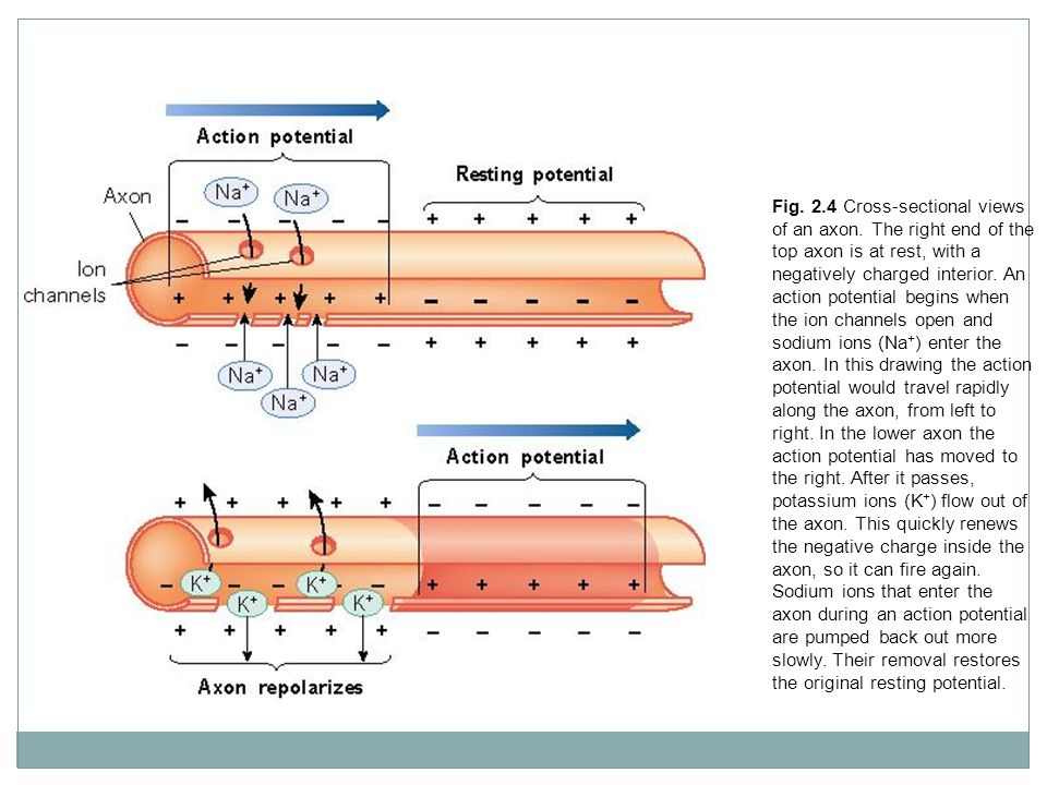 Fig. 2.4 Cross-sectional views of an axon. The right end of the top axon is at rest, with a negatively charged interior. An action potential begins wh