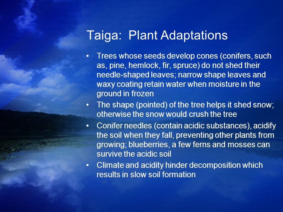 Taiga: Plant Adaptations Trees whose seeds develop cones (conifers, such as, pine, hemlock, fir, spruce) do not shed their needle-shaped leaves; narro