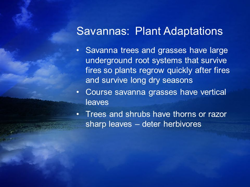 Savannas: Plant Adaptations Savanna trees and grasses have large underground root systems that survive fires so plants regrow quickly after fires and