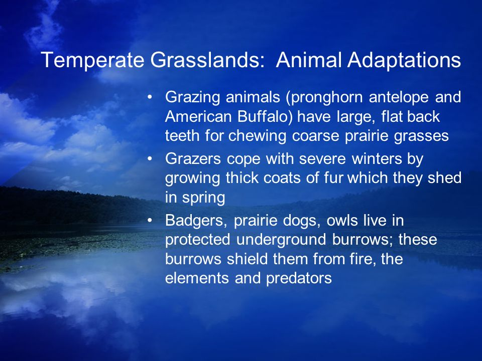 Temperate Grasslands: Animal Adaptations Grazing animals (pronghorn antelope and American Buffalo) have large, flat back teeth for chewing coarse prai