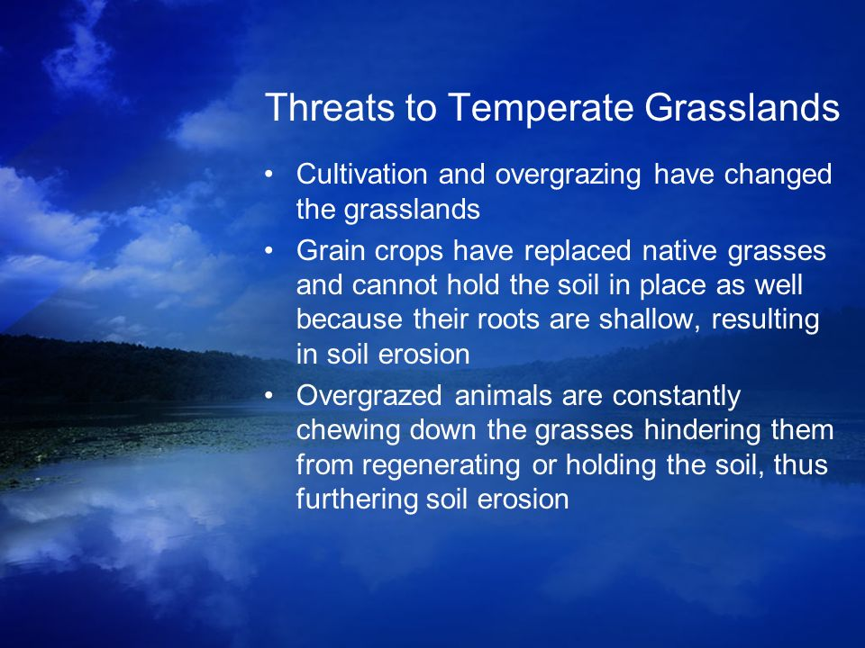 Threats to Temperate Grasslands Cultivation and overgrazing have changed the grasslands Grain crops have replaced native grasses and cannot hold the s