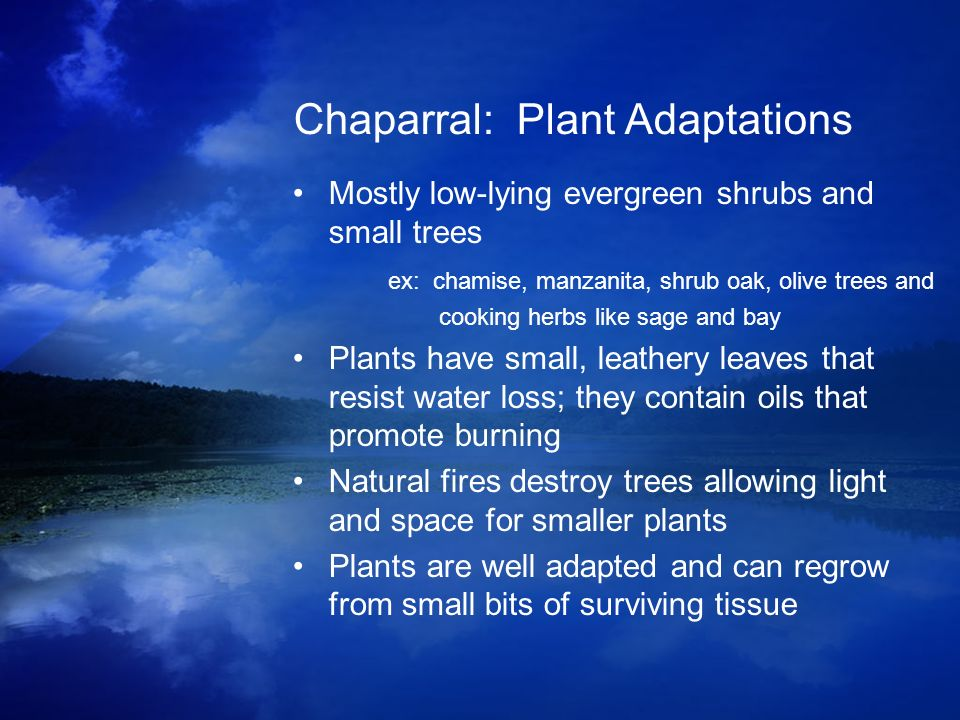Chaparral: Plant Adaptations Mostly low-lying evergreen shrubs and small trees ex: chamise, manzanita, shrub oak, olive trees and cooking herbs like s