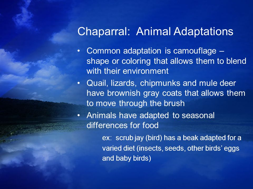 Chaparral: Animal Adaptations Common adaptation is camouflage – shape or coloring that allows them to blend with their environment Quail, lizards, chi