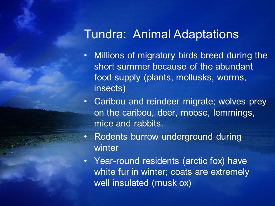 Tundra: Animal Adaptations Millions of migratory birds breed during the short summer because of the abundant food supply (plants, mollusks, worms, ins