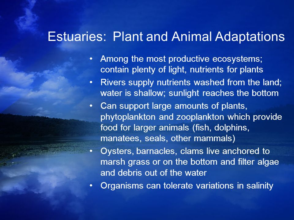 Estuaries: Plant and Animal Adaptations Among the most productive ecosystems; contain plenty of light, nutrients for plants Rivers supply nutrients wa