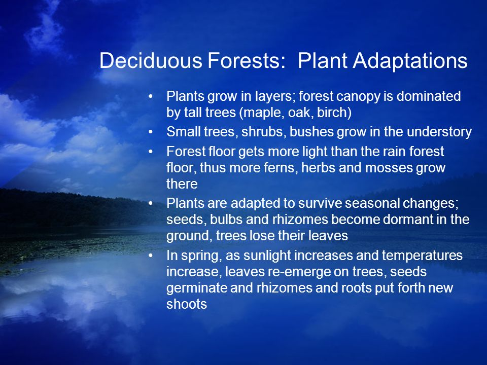 Deciduous Forests: Plant Adaptations Plants grow in layers; forest canopy is dominated by tall trees (maple, oak, birch) Small trees, shrubs, bushes g
