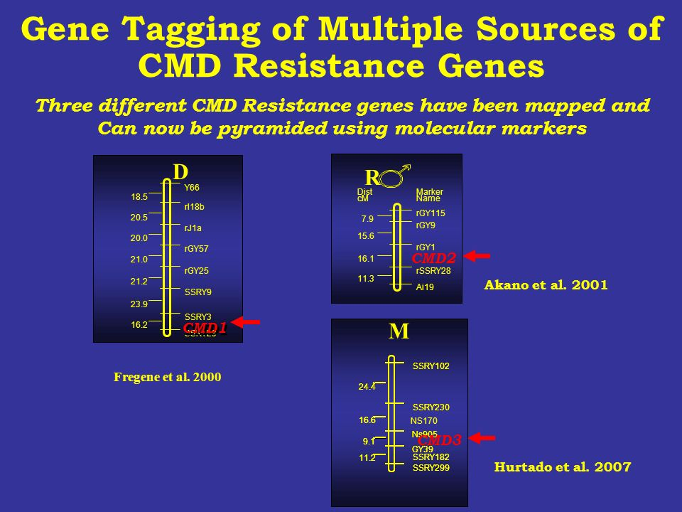 Three different CMD Resistance genes have been mapped and Can now be pyramided using molecular markers DistMarker cMName rGY115 7.9 rGY9 15.6 rGY1 16.